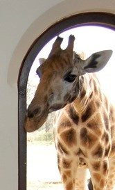 "A ""surprise"" guest for lunch at Giraffe Manor!"